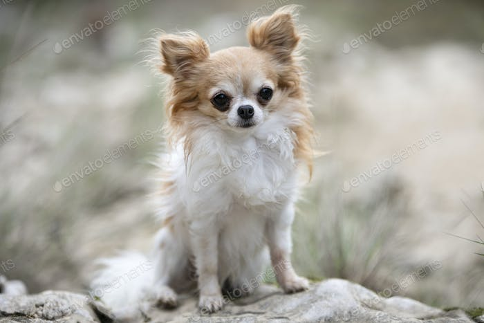 chihuahua in nature