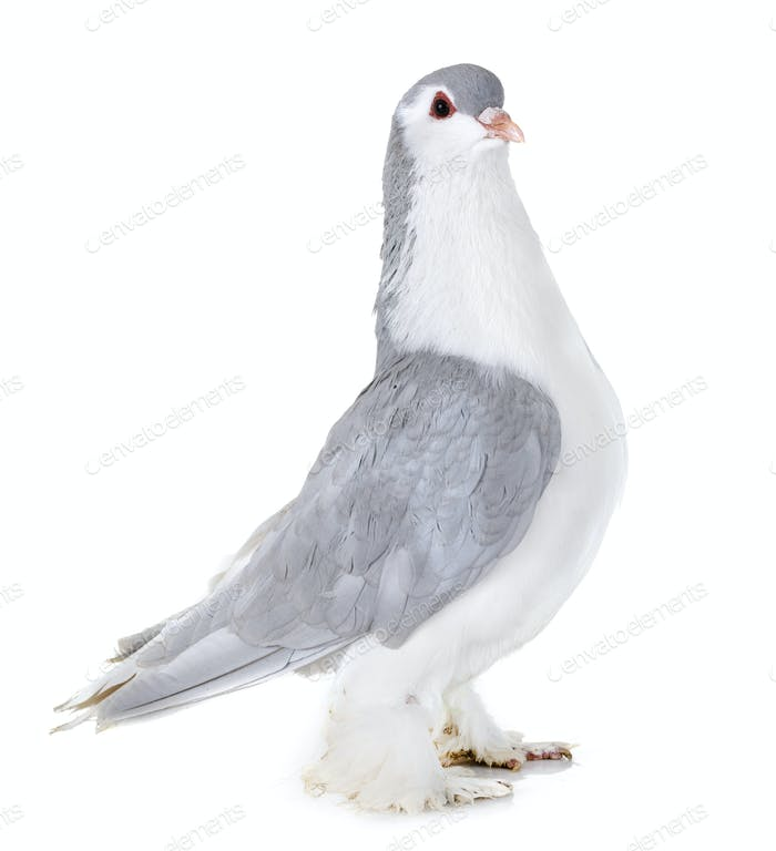 Lahore pigeon in studio