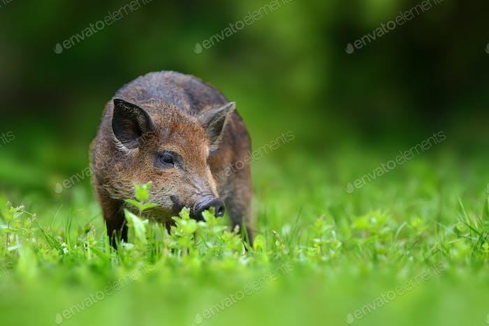 Big Wild boar. Bear in the summer forest.