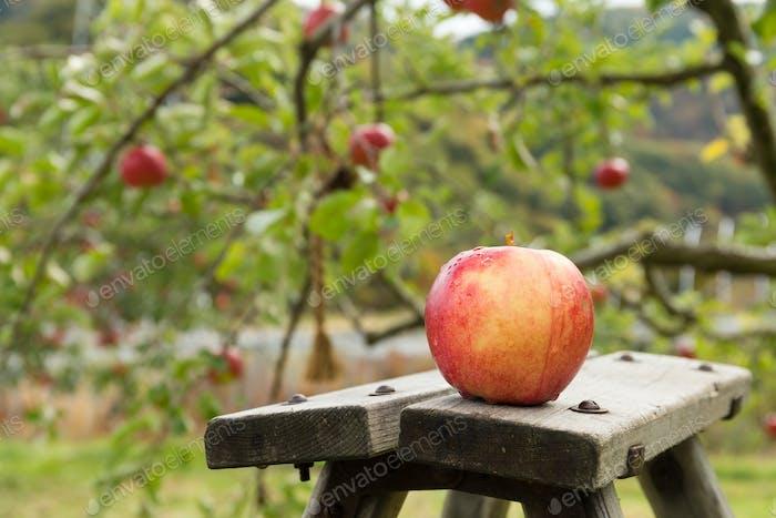 Fresh apple tree