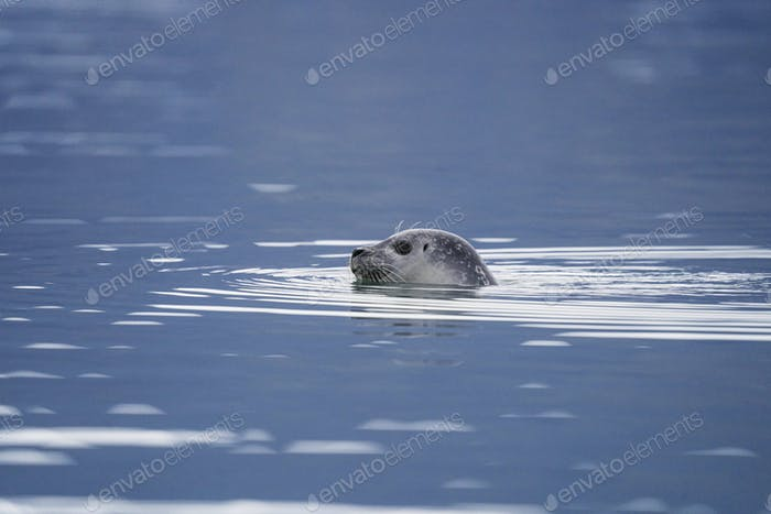 Cute seal playing in Glacier Lagoon, Iceland