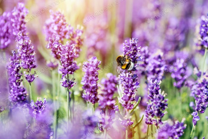 Honeybee pollinating lavender flower field