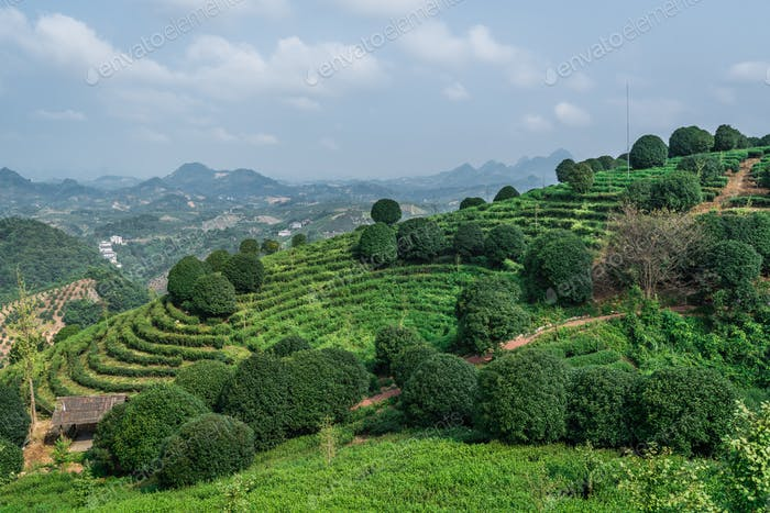 Beautiful  shot of a tea plantation  on a sunny day
