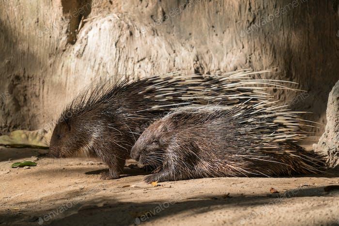 malayan porcupine, himalayan porcupine