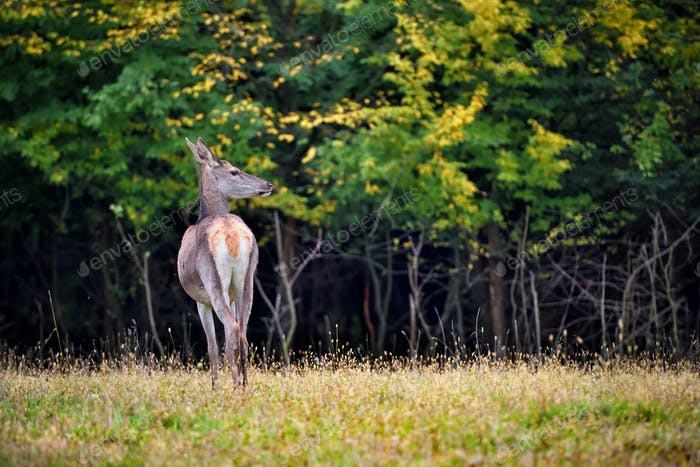 Female Red deer standing in autumn forest. Wild animals in natur