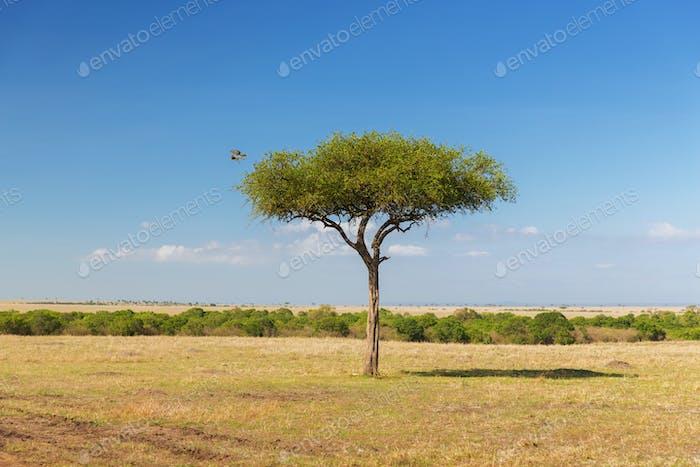 Adler fliegt weg vom Baum in Savanne in Afrika