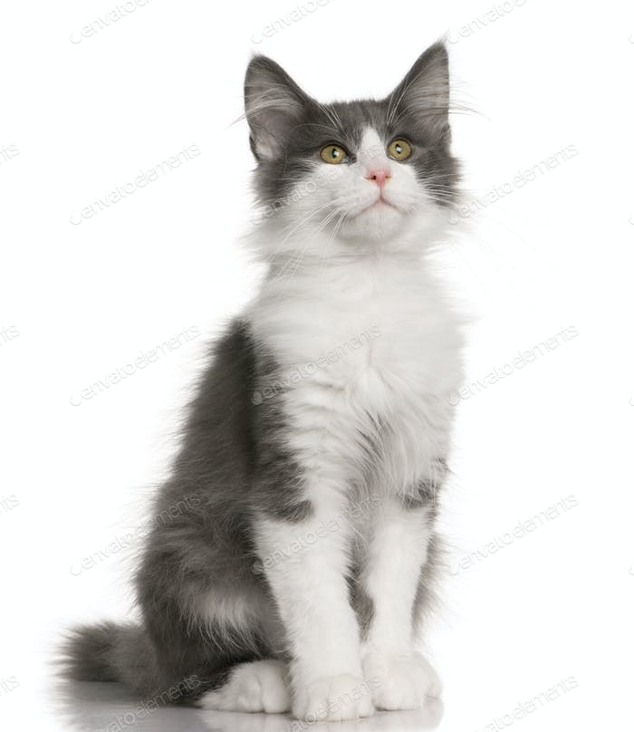 Norwegian Forest Cat Kitten 4 Months Old Photo By Lifeonwhite On Envato Elements