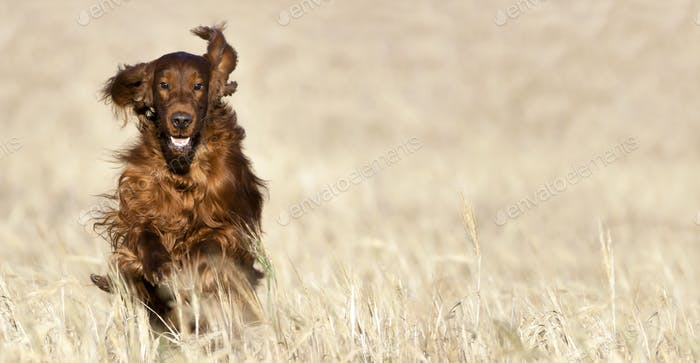 Happy pet dog running in the field