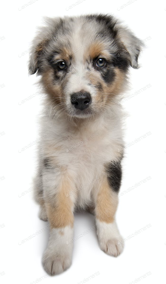 Blue Merle Australian Shepherd puppy, 10 weeks old, sitting in front of white background