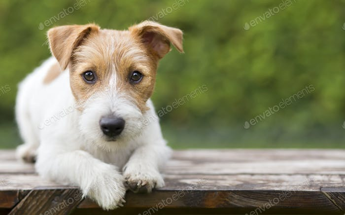 Puppy pet training - smart happy jack russell dog puppy looking