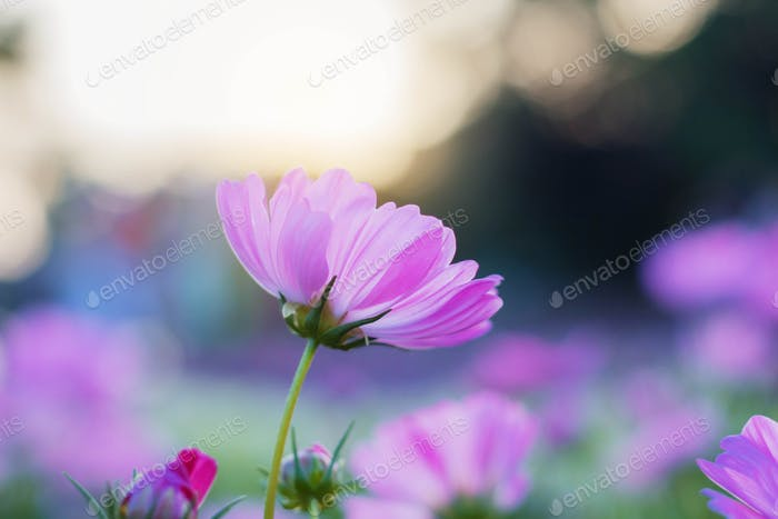 Purple cosmos at sunrise