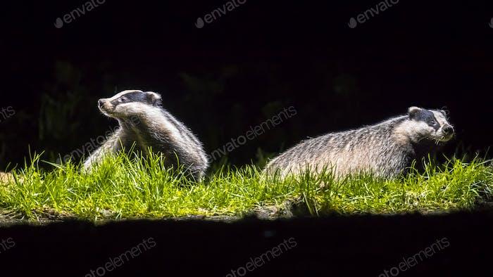 Two european badgers in grassland