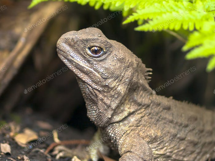 Head of Tuatara native new zealand reptile