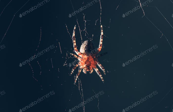 Garden Spider in the Middle of the Web