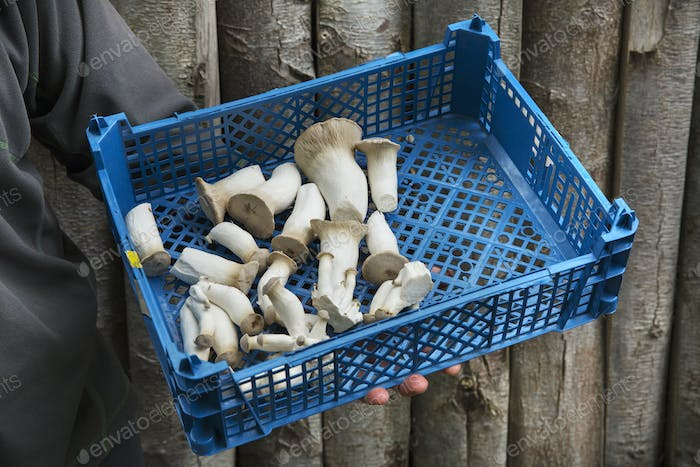 High angle view of a crate of freshly picked mushrooms.