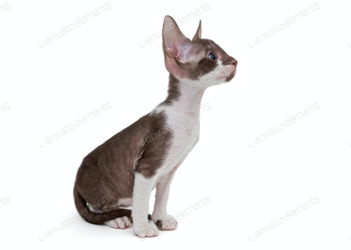 Small kitten Cornish Rex
