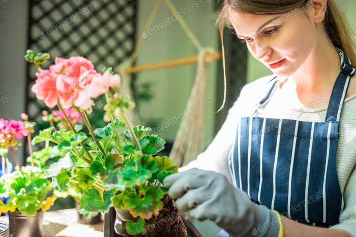 Woman planting flower on balcony at sunny spring day, home gardening