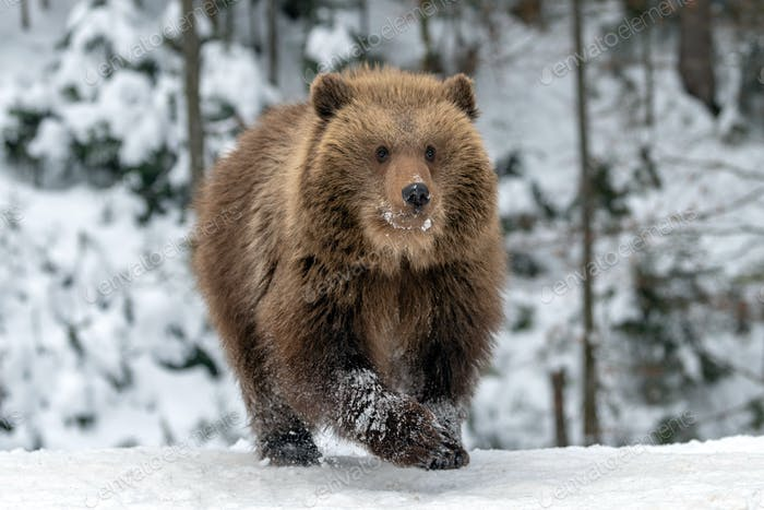 Wild brown bear cub closeup in forest