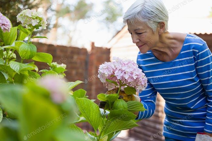 Senior Frau riecht rosa Hortensien Bündel