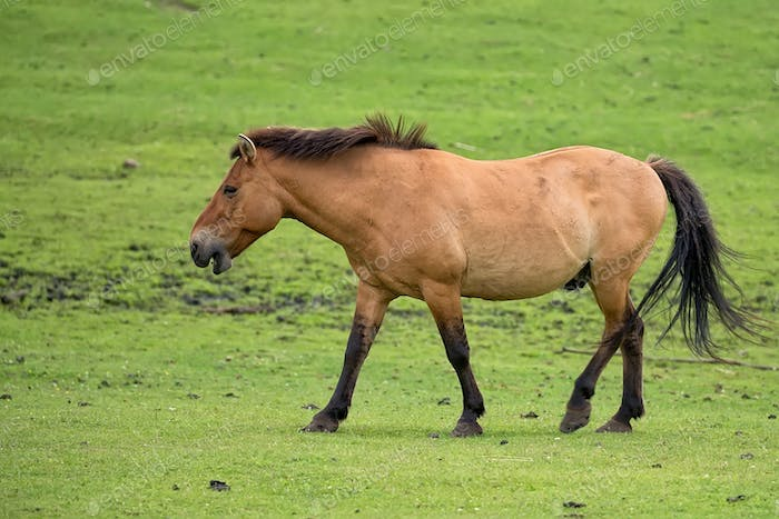 Przewalski's horse on the run