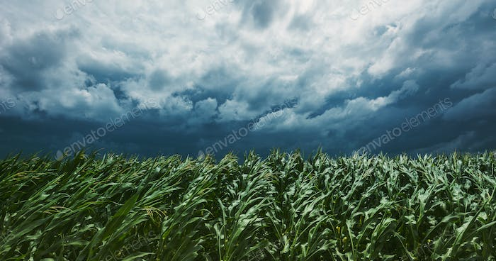 Windstorm in maize crop field