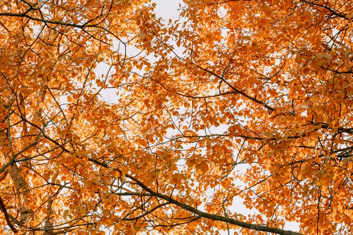 Bottom view of the autumn birch branches against blue sky in a forest.