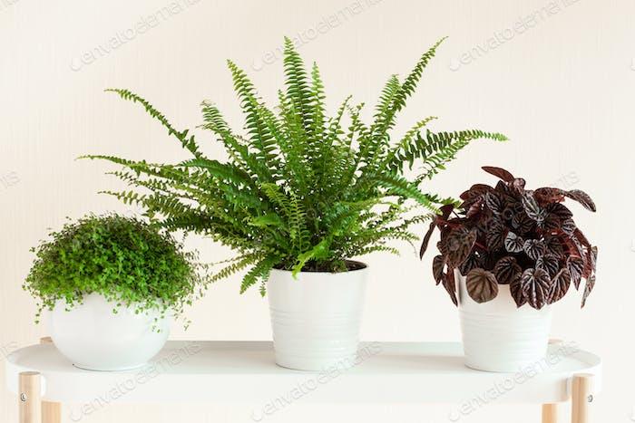 houseplants Nephrolepis, peperomia caperata, Soleirolia soleirol