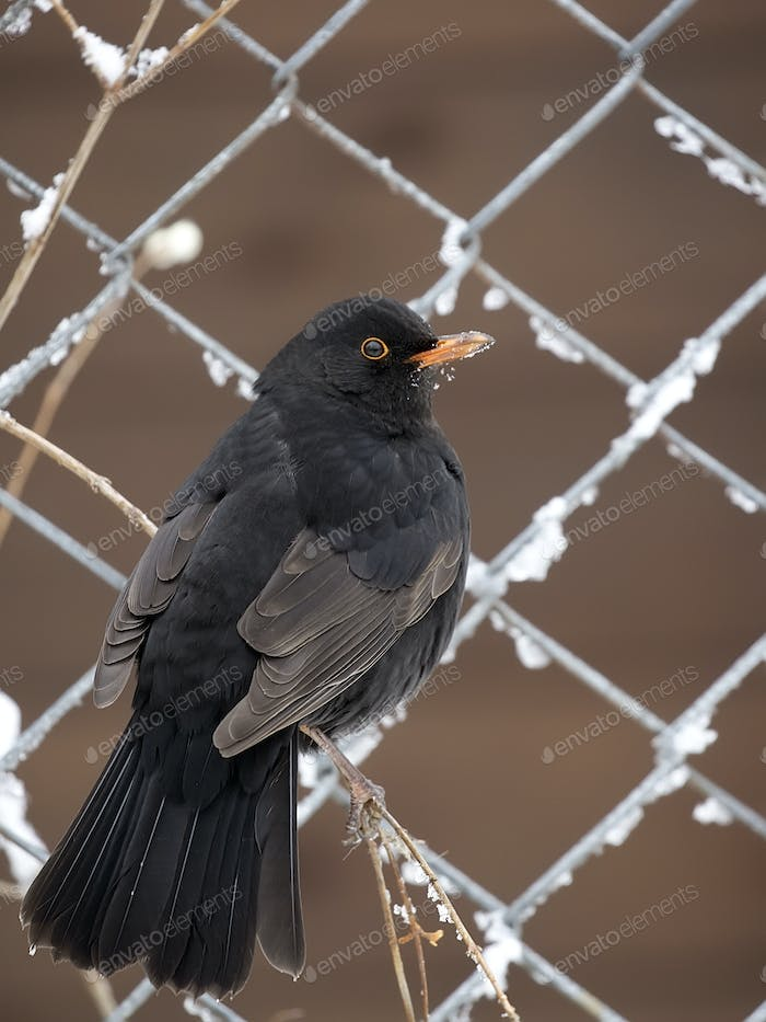 Common Blackbird in winter