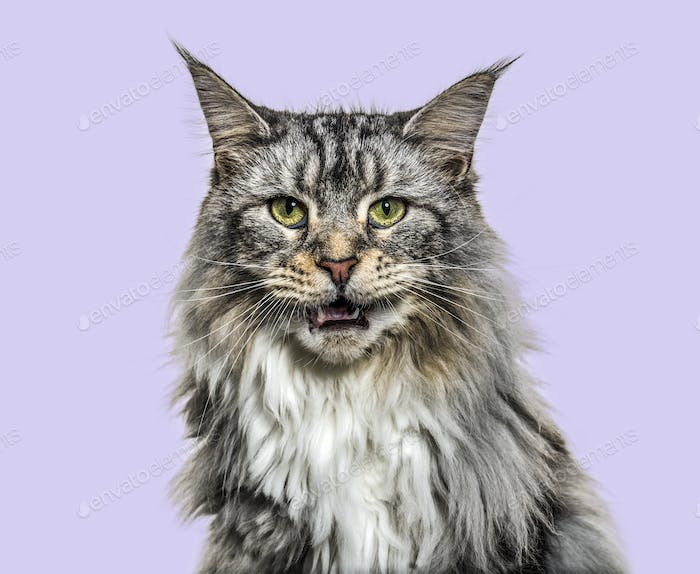 Close-up on a main coon cat meowing, purple background