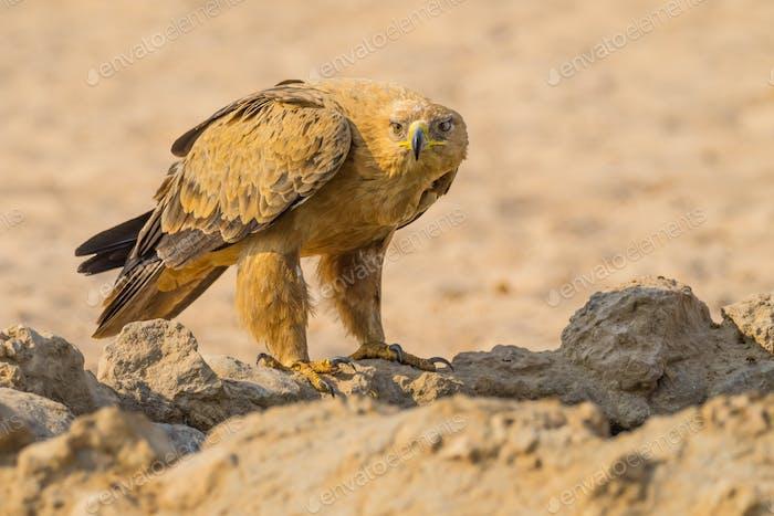 A Tawny Eagle in the Kalahari