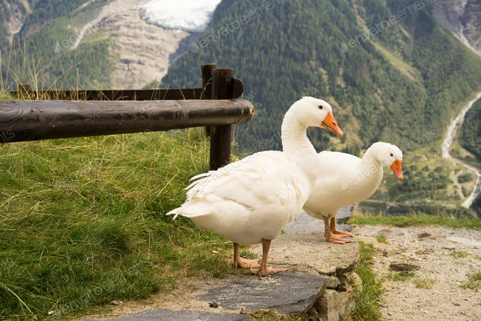 Three Geese in the Alpes of France