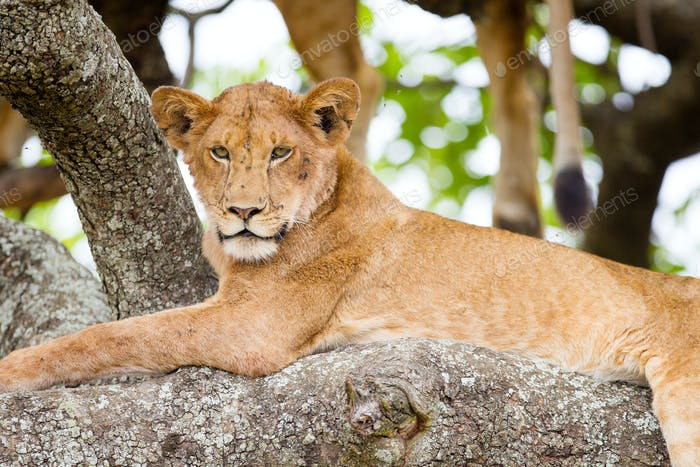 Tree climbing lion rests in Africa