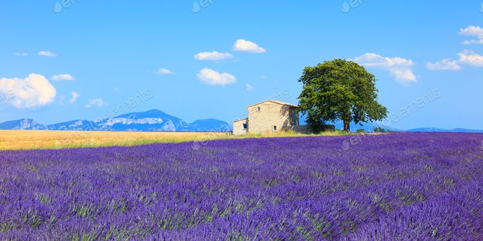 Lavender Flowers Blooming Field House And Tree Provence Franc