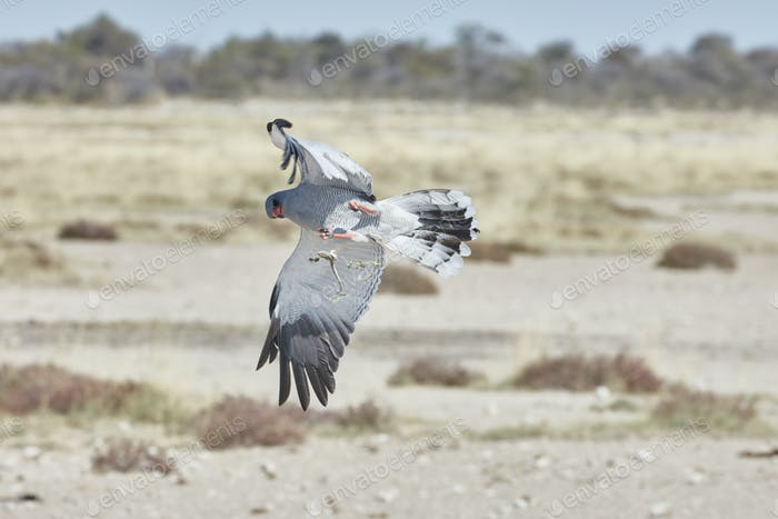Bird in flight trying to catch prey. A Pale Chanting Goshawk, Melierax canorus rising with wings