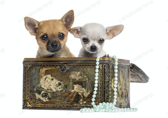 Two Chihuahua puppies in a vintage box, 4 months old, isolated on white