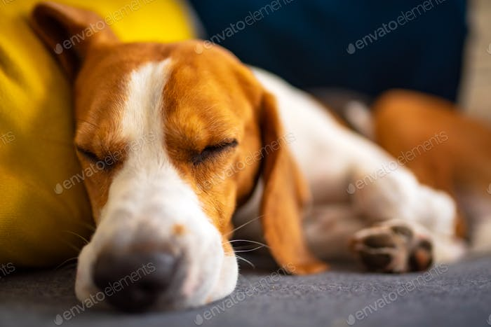 Beagle dog tired sleeps on a cozy couch. Adorable canine background