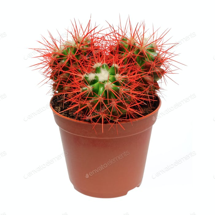Red cactus in flowerpot
