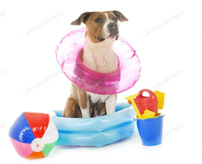 american staffordshire terrier in holidays