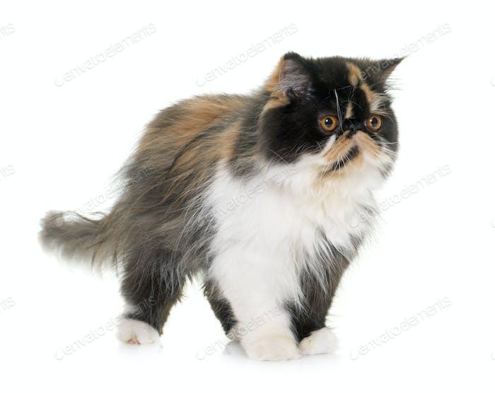 tricolor persian cat