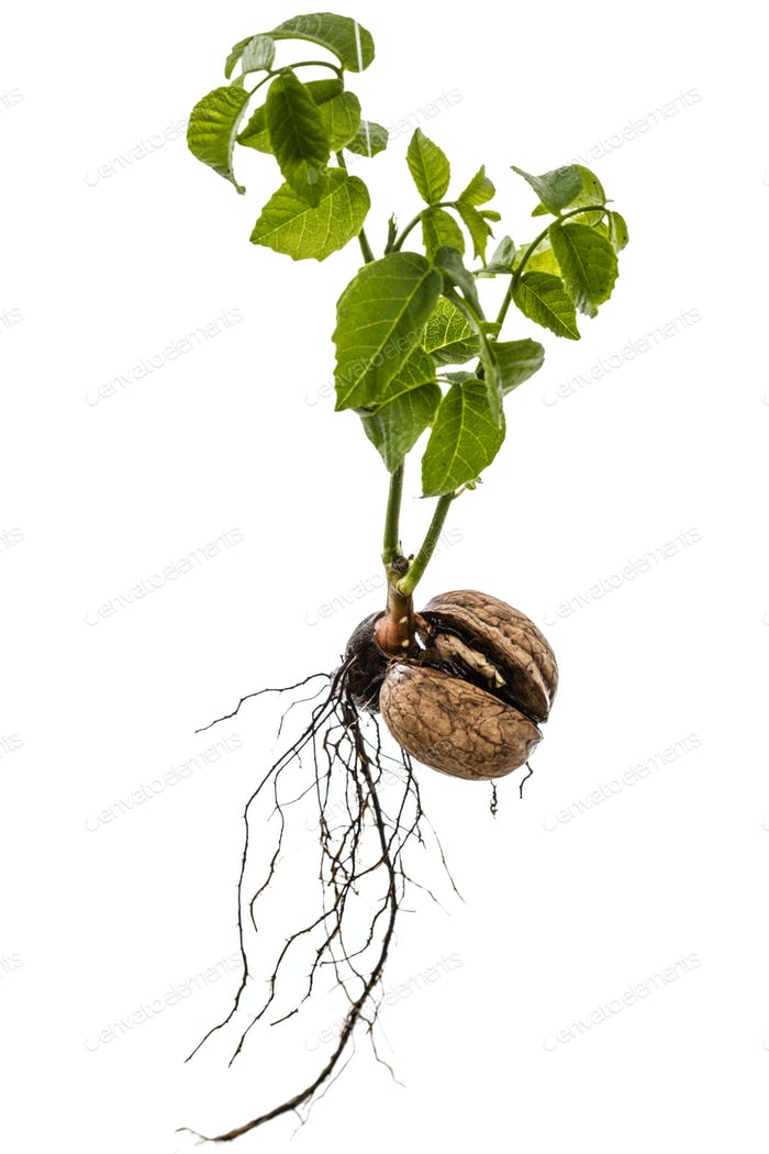 Sprout of a young walnut, isolated on white background