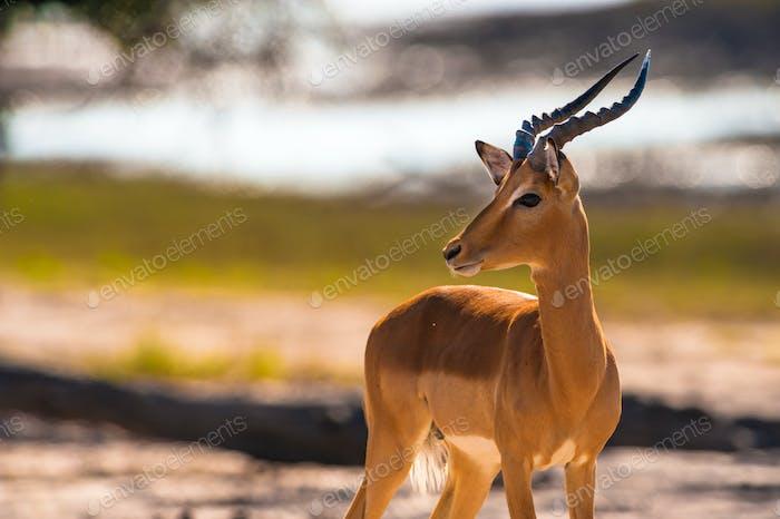 Impala turning head