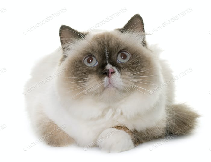 english longhair cat