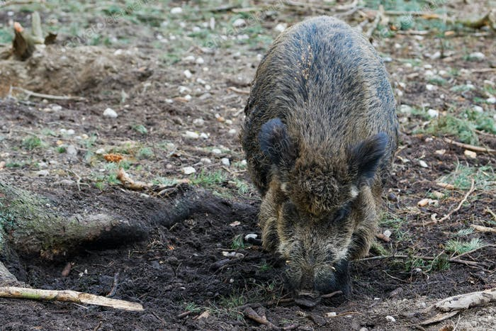 Wild Boar (Sus Scrofa) in the forest