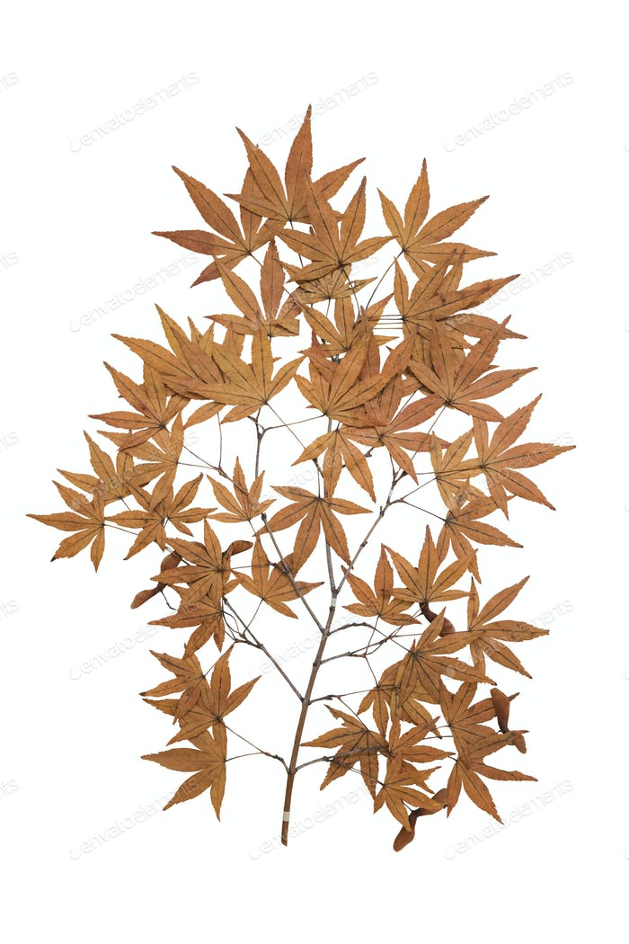 maple herbarium isolated