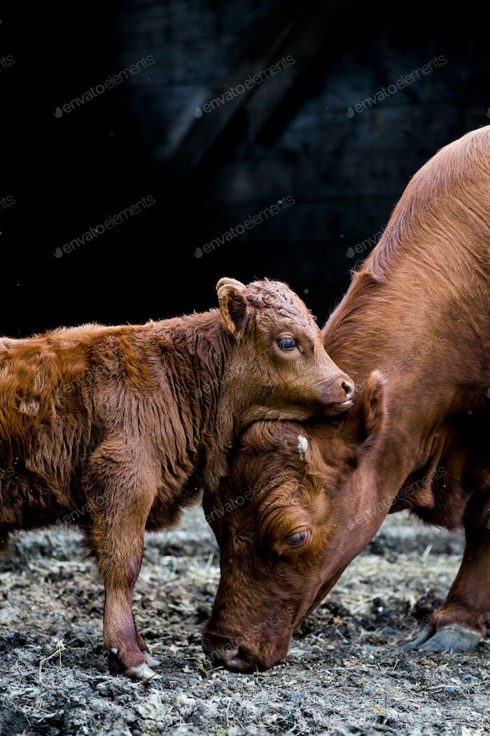 Braune Kuh und Kalb stehen vor einer Scheune auf einem Bauernhof.
