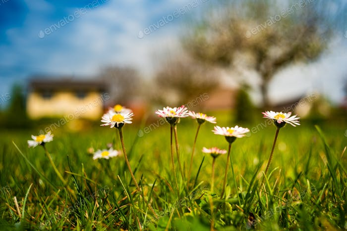 Daisies flowers in grass on a meadow