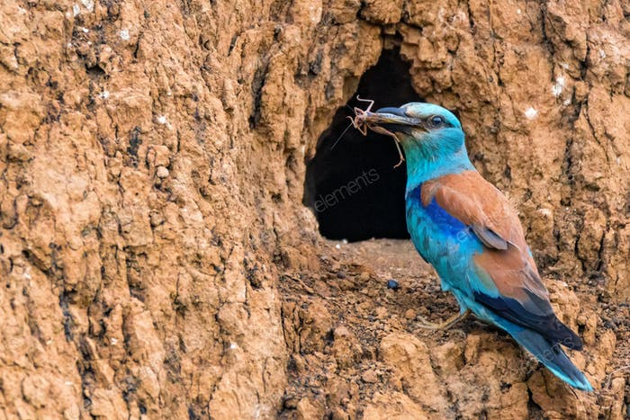 European roller or Coracias garrulus with prey