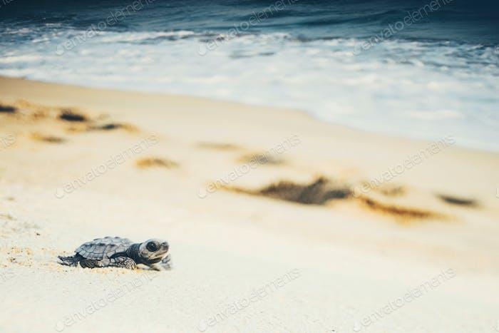 newborn turtles near the sea wave , close-up turtle, turtle sanctuary hatchery located on the beach