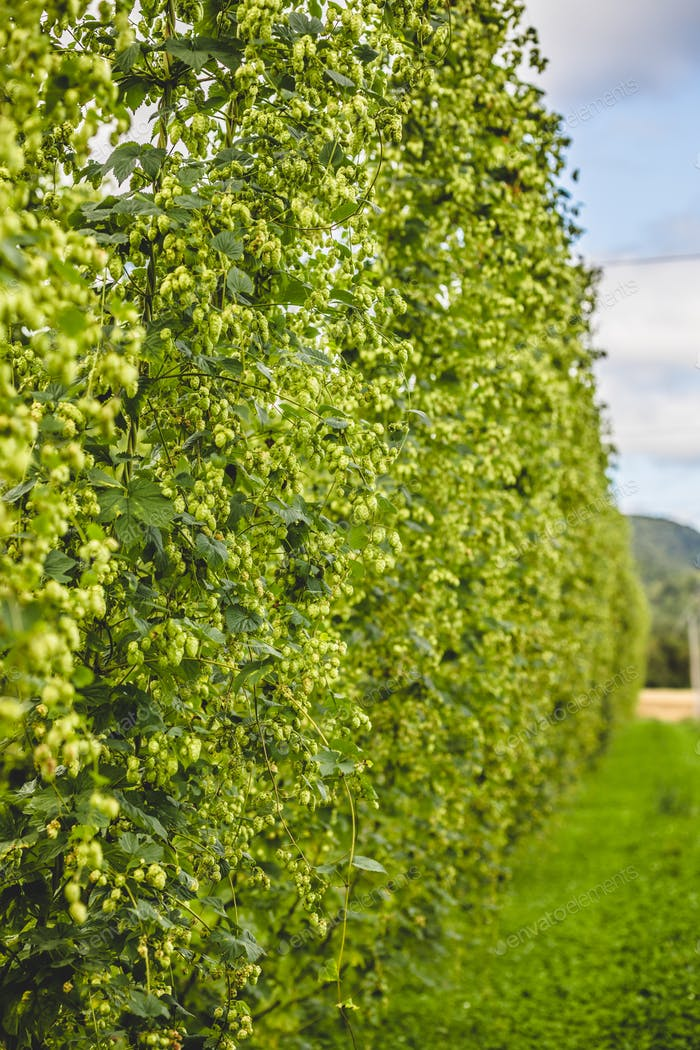 View to tied hop plants growing on field.