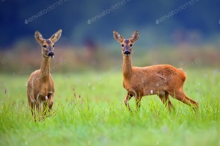 Roe-deers in a clearing